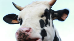 Holstein Friesians cow chewing (close up) Stock Footage