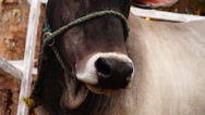 Stock Video Footage of Cow Head rope tied close up
