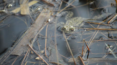 A Frog Lies Still in a Pond, Audio of Croaking and Birds Singing Stock Footage