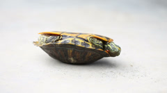 Red-eared slider turn oneself over Stock Footage