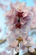 Almond Blossom (Prunus dulcis) in tree close-up - stock photo