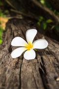 Plumeria white Stock Photos