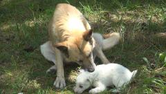 Stray, Abandoned Dogs, Homeless Mother Dog and her Puppy, Baby Stock Footage