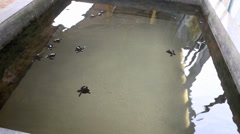 Olive ridley turtle hatchlings in conservation tank Stock Footage