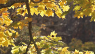 Stock Video Footage of Yellow leaves on Connecticut tree in fall