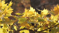 Fall foliage yellow leaves Stock Footage