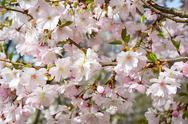 Stock Photo of Spring Apple Tree Blossoms