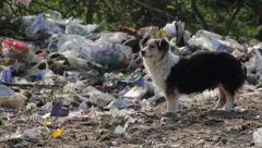 20/35 Dog eating on the landfill, garbage, dump, waste, survive, trash, 25fps. Stock Footage