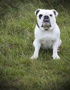 A white English Bulldog, a pedigree dog with a snubbed nose sitting on his Stock Photos