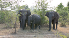 Elephants in Udawalawe national park in Sri Lanka Stock Footage