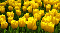 Tulips in Gulhane Park in Istanbul, Turkey Stock Footage