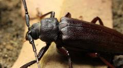 Longhorn beetle Stock Footage