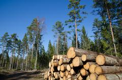 Timber stack of whitewood Stock Photos