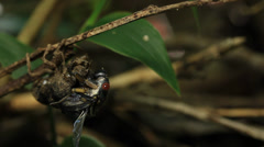 Cicada Stock Footage