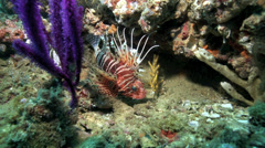 Lionfish (Pterois) sheltering under purple soft coral in strong current Stock Footage