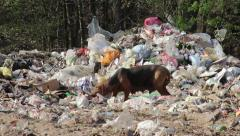 21/35 Dog eating on the landfill, garbage, dump, waste, survive, trash, 25fps. Stock Footage
