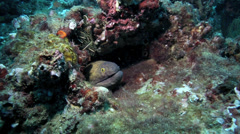 Brown moray eel and cleaner shrimp amongst coral reef Stock Footage