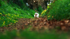 Stubborn Shih-Tzu dog expects to be carried Stock Footage