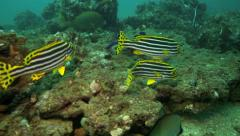 Oriental sweetlips swimming over coral reef Stock Footage