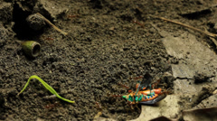 Ants with Jewel bug 2 Stock Footage