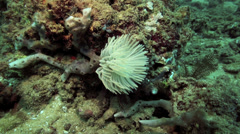 Feather duster fan worm retracting back into its shell attached to coral reef Stock Footage