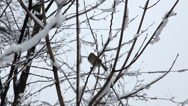 Stock Video Footage of bird in a snowy tree