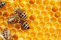 Macro of working bee on honeycells. Stock Photos
