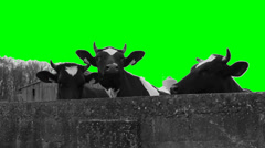 Holstein Friesians cows - green chromakey Stock Footage