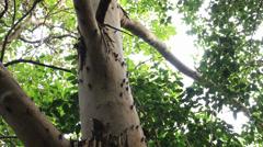 Cicadas calling / singing on tree Stock Footage