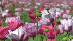 flower bud - stock footage