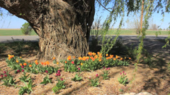 Tulips & Willow Tree Stock Footage