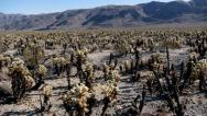 Stock Video Footage of Vast Desert Field of Cholla Jib Shot