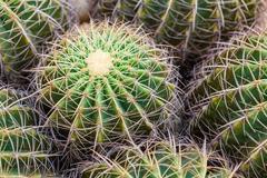 closeup of globe shaped cactus - stock photo