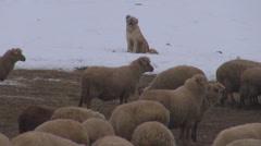Kaunis koira suojella vartija lammas folk mountain peitetty lumen talvi talvi Arkistovideo