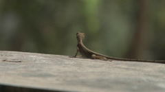 Salamander in the Jungle. Amazon Jungle. Stock Footage