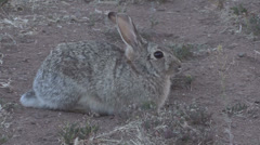 Cottontail Rabbit Runs Off Stock Footage