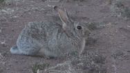 Stock Video Footage of Cottontail Rabbit Runs Off