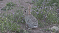 Alert Cottontail Rabbit Stock Footage