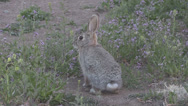 Stock Video Footage of Alert Cottontail Rabbit