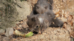Brown bear ursus arctos new born feeding Stock Footage