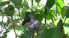 Allens Hummingbird multiple fly-in and out feedings Stock Footage