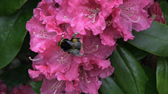 Rhododendron and Buff Tailed Bumblebee 2 - stock footage