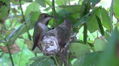 Allens Hummingbird chick refuses feeding (sword fight!) Stock Footage