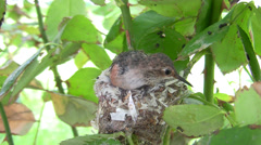 Allens Hummingbird chick poking around with lots of wing buzzing Stock Footage