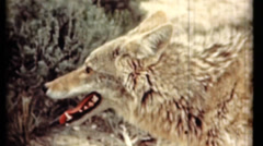 Wolf and rattle snake - stock footage