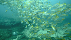 Large school of yellowstripe monocle bream swimming over coral reef Stock Footage