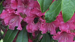 Pink Rhododendron flowers with Buff Tailed Bumblebee 1 Stock Footage