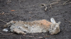 A Dead Rabbit Lies on a Path, with Audio of Birds Singing - stock footage