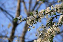 Spring Bloom Trees With Fluffy White Clouds In Background Stock Photos