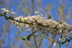 Spring Bloom Trees With Fluffy White Clouds In Background - stock photo